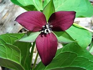 purple trillium | Uconnladybug's Blog