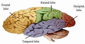 Brain Formed By Four Main Lobes  Frontal Lobe  Parietal