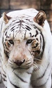 White Tiger | GANREF