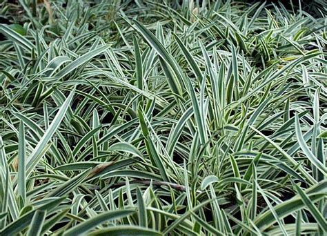 agapanthus variegated san marcos growers gt products gt plants gt another image