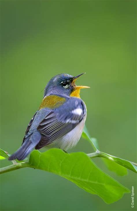 marie winn s central park nature news singing birds