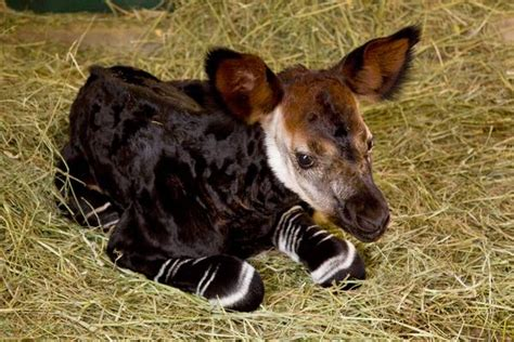 Baby Okapi Information