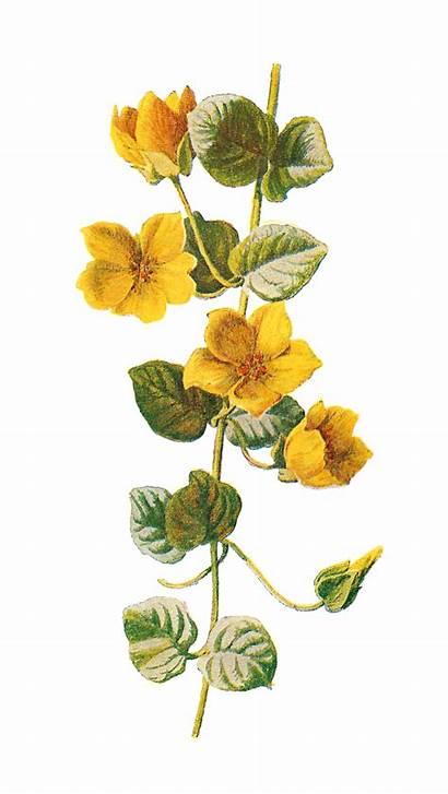 Flower Wildflower Clip Botanical Moneywort Digital