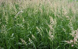 Phalaris Arundinacea Reed Canary Grass Seeds | Fair Dinkum ...