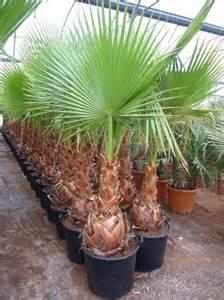 palmier du mexique washingtonia robusta 2016 car release date