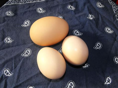buff orpington egg color buff orpington egg color