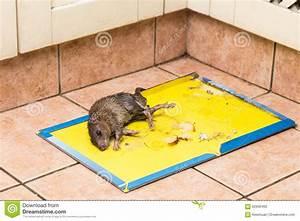 Piege à Rat Efficace : le rat a captur sur le panneau jetable de pi ge de colle ~ Dailycaller-alerts.com Idées de Décoration