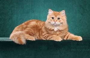 20+ Most Adorable Orange Siberian Cat Images And Photos
