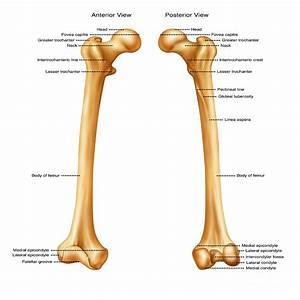 Femur  Anterior And Posterior View Photograph By Gwen Shockey