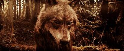 Twilight Wolves Wolf Brown Jacob Werewolf Wattpad