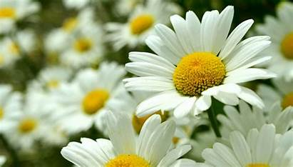 Daisy Flower Wallpapers Background Resolution Cool Fresh