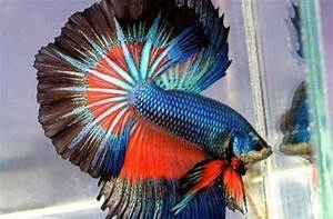 The Most Beautiful Betta Fish In The World Is So Good