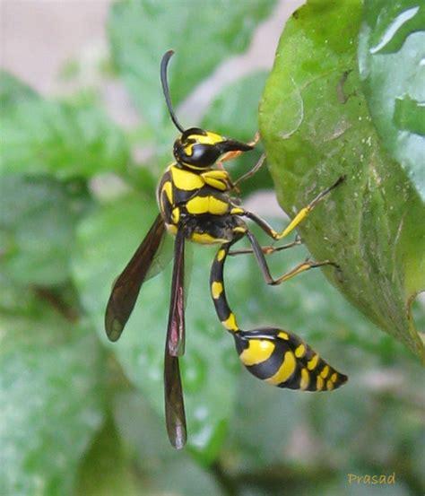treknature yellow black wasp photo