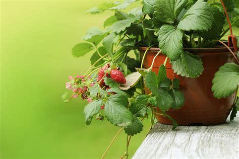 fragole in vaso coltivazione coltivare fragole in vaso in terrazzo 232 facile e divertente