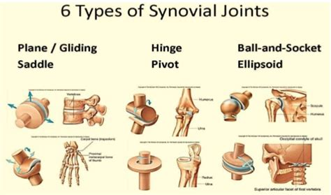 Different Joints Have Different Degrees Of Freedom