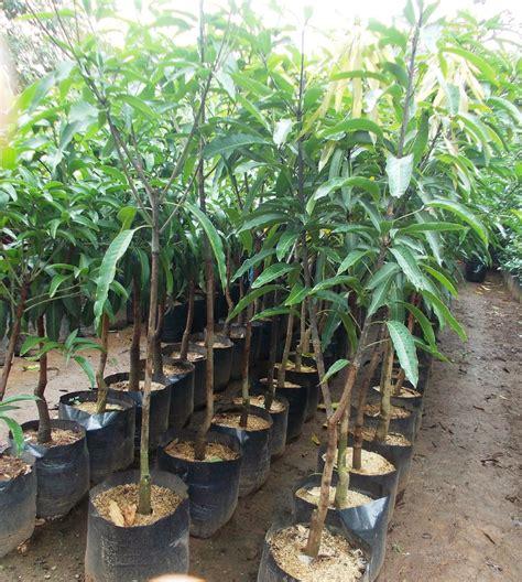 Jual Bibit Mangga Namdokmai jual bibit mangga varietas lokal unggul dan varietas impor