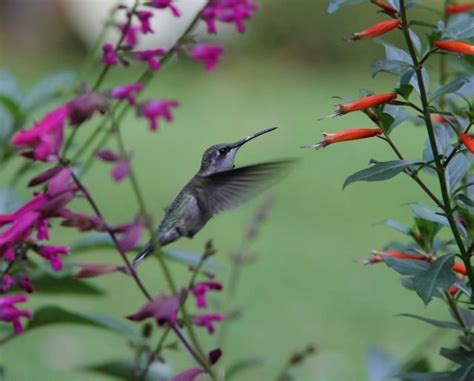 88 best images about hummingbirds on pinterest seasons