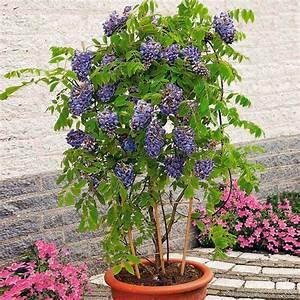 Blühende Kletterpflanzen Winterhart Mehrjährig : blauregen amethyst falls von g rtner p tschke ~ Michelbontemps.com Haus und Dekorationen