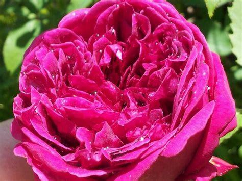 pink david roses dark pink david austin garden rose types of flowers pinterest gardens pink and roses garden