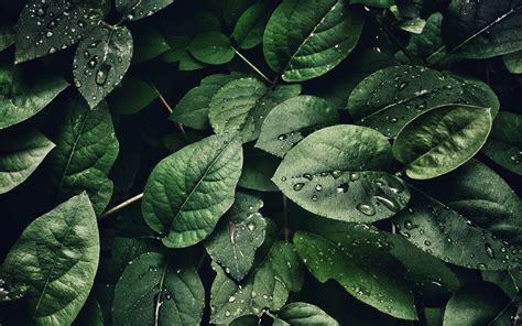 wallpaper hijau tanaman daun daun tetes air