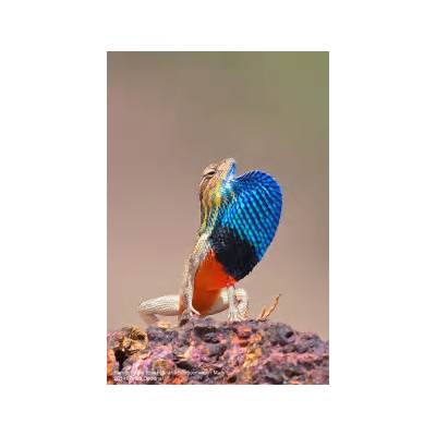 17 Best images about Fan-throated Lizards on PinterestFans Brown and Research methods