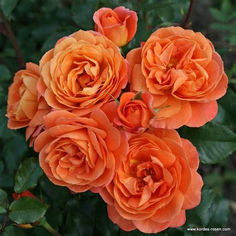 phoenix beetrosen plant  fix kordes rosen
