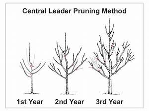 How To Prune An Apple Or Pear Tree From The Experts At