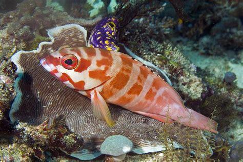 blacktip grouper alchetron