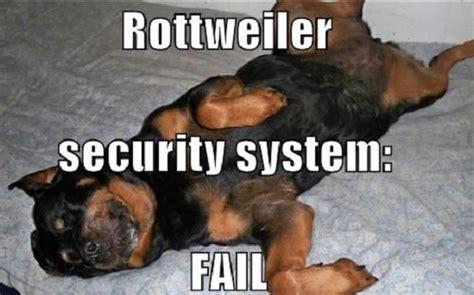 awkward rottweiler sleeping positions