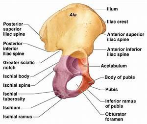 Hip Bone Anatomy