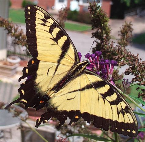 Free Eastern Tiger Swallowtail Stock Photo Freeimagescom