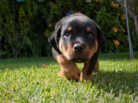 cute rottweiler pictures funny quotes quotesgram