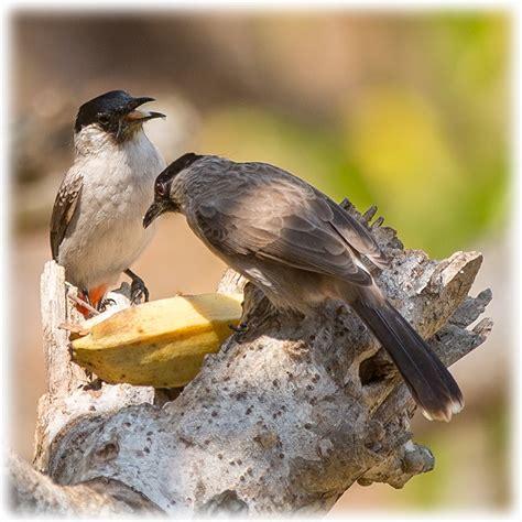 Bird watching in Thailand - Sooty-headed Bulbul / นกปรอด ...