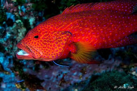 cleaning station grouper coral miniatus