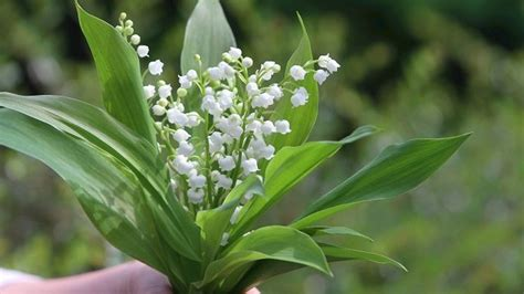 35 griffes plants muguet parfum 233 pr 234 t 224 repiquer au jardin ou en pot