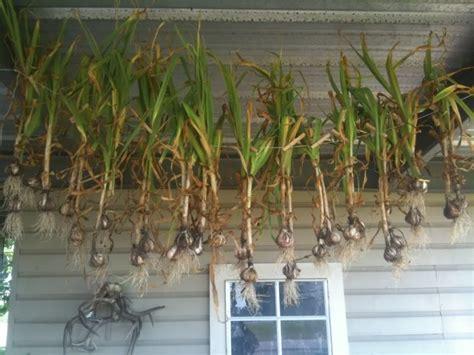 garlic creole climates warm growing gardening gourmet gulf grown coast courtesy foot square zone