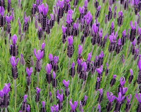 Plants Online Nursery by Gardensonline Lavandula Stoechas