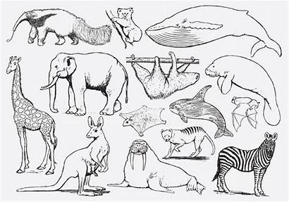 Coloring Animals Vector Giraffe Clipart Edit