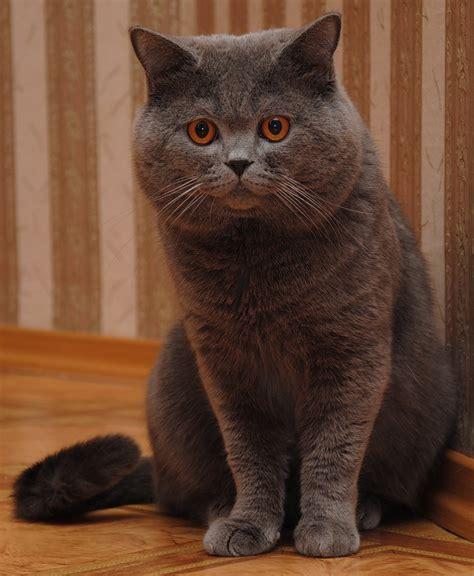 Britų trumpaplaukis katinas   MyPets.lt