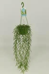 hoya linearis pcm hcm plant wholesale floraccess