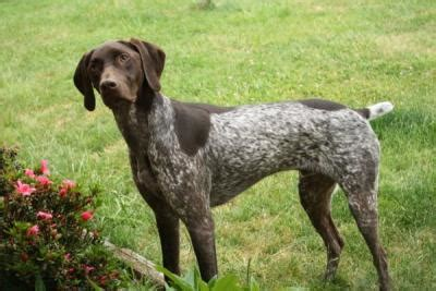 german shorthaired pointer dogs german shorthaired