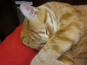 orange tiger cat how do i what breed my cat is cats types