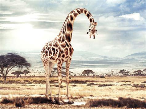foto de jirafa wallpapers