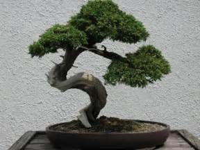 what is bonsai albuquerque bonsai club