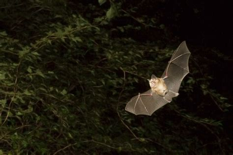 greater horseshoe bat facts information pictures