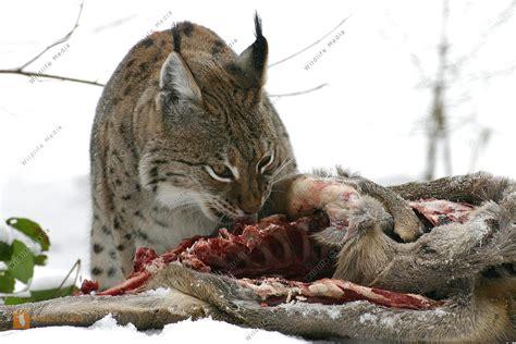 bestellen luchs lynx lynx bild bildagentur