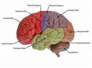 Brain Diagram Unlabeled Colored
