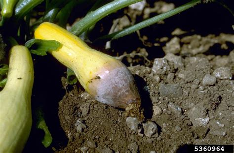 Cucurbit Fruit Rot Issues  Why Pumpkins And Squash Rot On