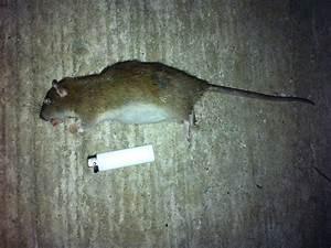 Comment Tuer Un Rat : comment faire fuir les souris dans une maison faire fuir ~ Mglfilm.com Idées de Décoration