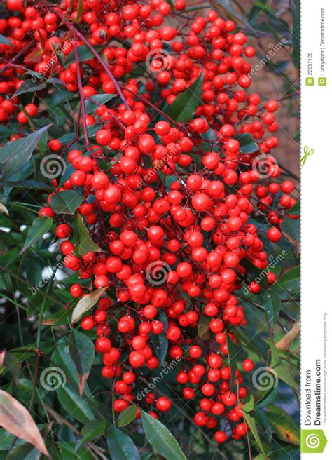wild red berry royalty  stock image image